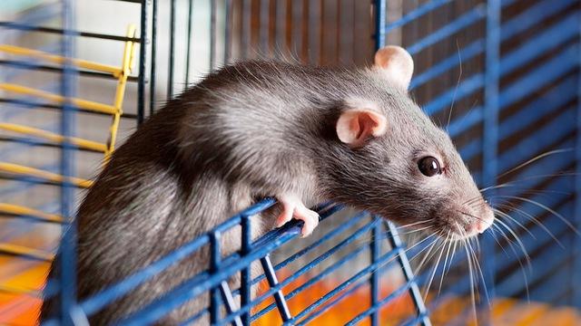Dịch vụ diệt chuột an toàn, giá rẻ tại Hà Nội