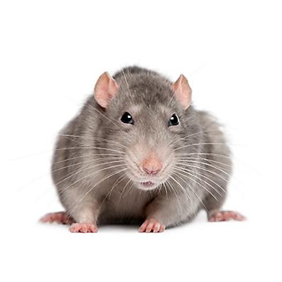 Cách diệt chuột trong dân gian đơn giản mà hiệu quả