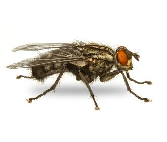 Diệt ruồi an toàn hiệu quả tận gốc
