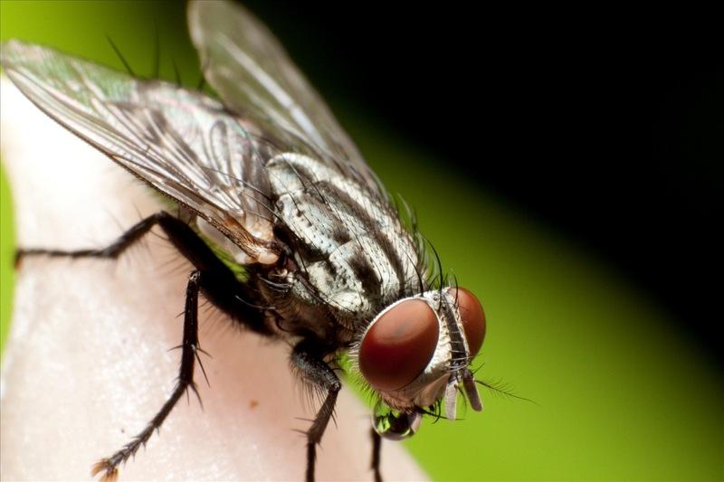 Dịch vụ diệt ruồi trọn gói, chuyên nghiệp và diệt tận được cả những loài côn trùng gây hại khác